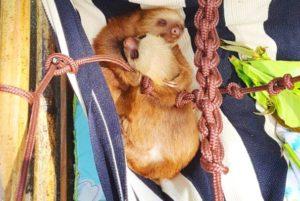 счастливые ленивцы обнимаются